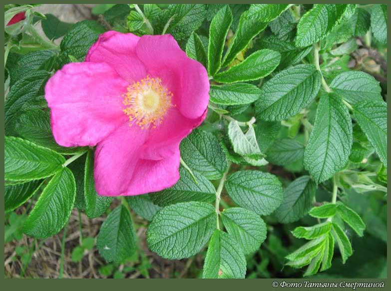 Цветок дикая роза фото