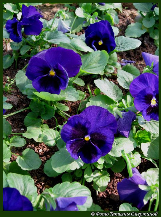 Цветы виолы анютины глазки садовые