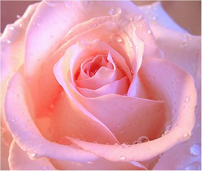Розовые розы красивые фото